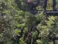 عملية تقليم اشجار ادت الى اصابة عامل بصعقة كهربائية جراء اصابة الكابل .